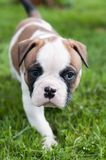 Funny nice red American Bulldog puppy on nature. Funny nice red white American Bulldog puppy is running on nature. Puppy`s acquaintance with nature Royalty Free Stock Photography