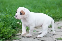 Funny nice red white coat American Bulldog puppy is walking on nature. Funny nice red white coat American Bulldog puppy is walking on the road. Puppy`s Royalty Free Stock Photos