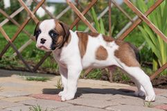 Funny nice red white coat American Bulldog puppy is walking on nature. Funny nice red white coat American Bulldog puppy is walking on the road. Puppy`s Royalty Free Stock Photography