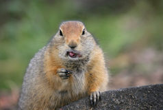 Funny northern gopher. North ground squirrel after a tasty lunch Stock Photo