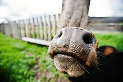 Funny   nose of cow Royalty Free Stock Photo