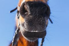 Funny nose of the horse against the blue sky stock photos