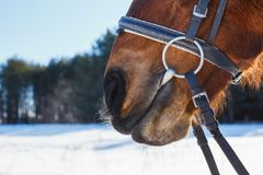 Funny nose of the horse against the blue sky.  royalty free stock image