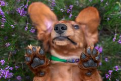 Funny nose and paws portrait of a dog lying upside down in heather flowers. Adorable long haired dachshund puppy outdoors stock image