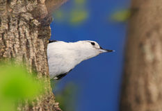 Funny Nuthatch, Royalty Free Stock Photography