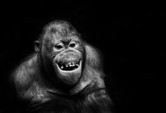 Funny orangutan monkey smiling - black background Stock Images