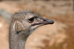 Funny ostrich Stock Image
