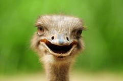 Funny ostrich Royalty Free Stock Photography