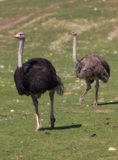 Funny ostrich Stock Photos