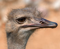 Funny ostrich Stock Photo
