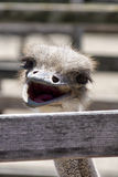Funny ostrich Royalty Free Stock Image