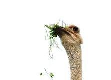 Funny ostrich Royalty Free Stock Photo