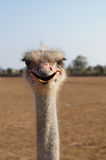 Funny Ostrich Royalty Free Stock Photos