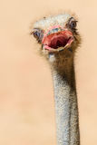 Funny Ostrich Bird Portrait Royalty Free Stock Photo
