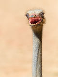 Funny Ostrich Bird Portrait Stock Image