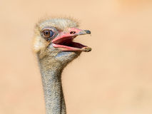 Funny Ostrich Bird Portrait Stock Photography