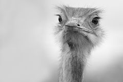 Funny ostrich in black and white Royalty Free Stock Image