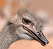 Funny ostrich - extremely sharp Royalty Free Stock Photo