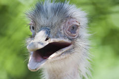 Funny ostrich Stock Photography