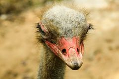 Funny ostrich head closeup with big eye and mouth of the Cape pi. Nk royalty free stock photography