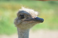 Funny ostrich head Royalty Free Stock Photo