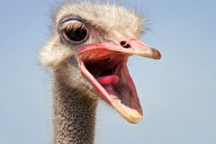 Funny ostrich head Stock Images