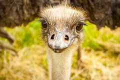 Funny ostrich head. In the wild Royalty Free Stock Image
