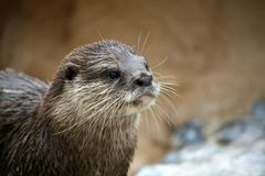 Funny Otter. Showing his tongue royalty free stock image