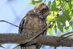 Funny owl on branch. Funny bird on branch, long eared owl ( Asio otus Royalty Free Stock Images