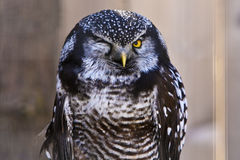 Funny Owl Winkingwith one eye Royalty Free Stock Photography