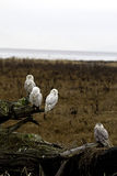 Funny Owls Family. Snowy Owls at 72nd st Vancouver BC Royalty Free Stock Photo