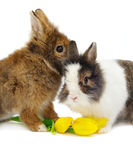 Funny pair of rabbits with tulips Royalty Free Stock Images