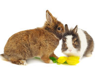 Funny pair of rabbits with tulips Stock Images