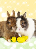 Funny pair of rabbits with tulips Royalty Free Stock Photography