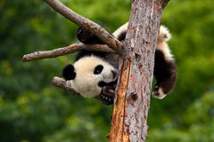 Funny Panda Bear. Comical young Panda Bear on the tree. Lying cute young Giant Panda feeding feeding bark of tree. Sichuan Giant. Panda from China Stock Photos