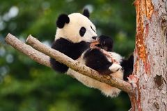 Funny Panda Bear. Comical young Panda Bear on the tree. Lying cute young Giant Panda feeding feeding bark of tree. Sichuan Giant P. Anda Royalty Free Stock Photo