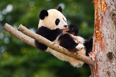 Funny Panda Bear. Comical young Panda Bear on the tree. Lying cute young Giant Panda feeding feeding bark of tree. Sichuan Giant P. Anda, China Royalty Free Stock Image