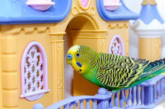 Funny parakeet budgerigar Stock Photos