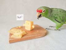 Funny parrot eating cheese and cheese asks for help. Funny parrot eating cheese and cheese asks for help Royalty Free Stock Image