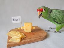 Funny parrot eating cheese and cheese asks for help. Funny parrot eating cheese and cheese asks for help Royalty Free Stock Images