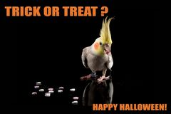Funny Parrot Halloween meme,Trick or Treat. Cockatiel eating candy. cool memes and quotes. Adorable stock photo