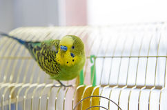 Funny Parrot sits on cage and looking at the camera Royalty Free Stock Photography