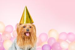 Funny party dog with baloons. Small funny dog in party hat with baloons on background Royalty Free Stock Photo