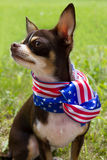 Funny Patriotic Dog. Funny chihuahua  with a patriotic ribbon around the neck Royalty Free Stock Images