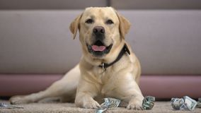 Funny pedigreed dog lying near torn dollar banknotes, house pet misbehaving