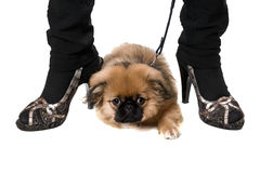 Funny pekinese puppy stock images