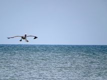 Funny pelican landing on the blue ocean water. Royalty Free Stock Photo