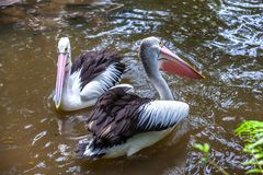 Funny pelican with mouth wide open standing and catching a fish. royalty free stock photography
