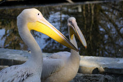 Funny pelicans family. Beautiful pelicans with different plumage in zoo area stock image