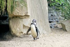 Funny Penguin Walking Royalty Free Stock Images